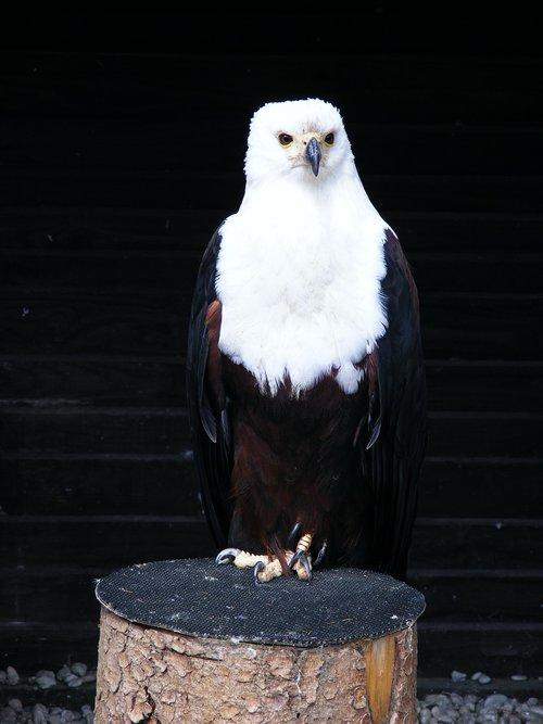 adler  screaming eagles  bird