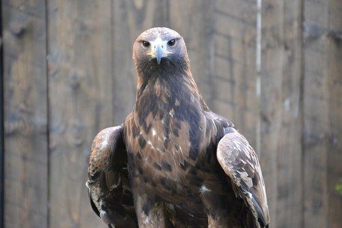 adler  raptor  bird