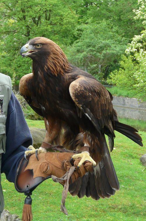 adler bird animal