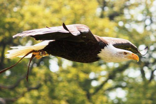 adler bald eagle white tailed eagle