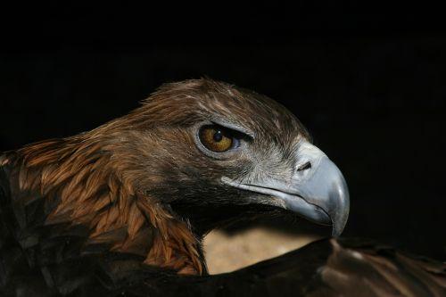 adler raptor bird of prey