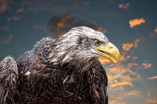 adler white tailed eagle training