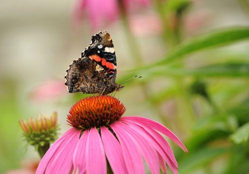 admiral butterfly walking butterfly