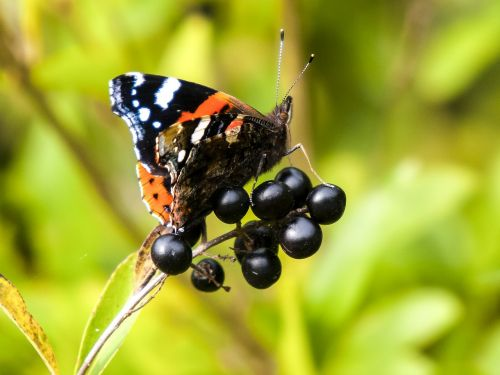 admiral butterfly animal
