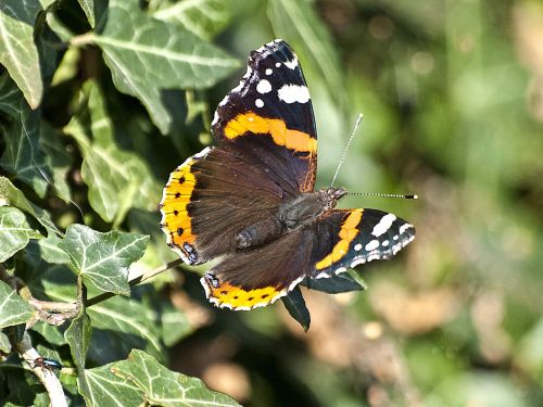 admiral butterfly insect