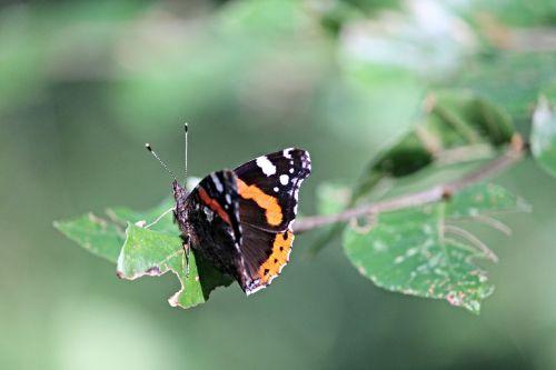 admiral butterfly vanessa atalanta
