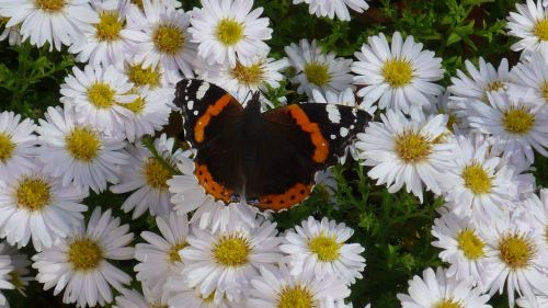 admiral butterfly days butterfly