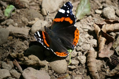 admiral  butterfly  spring