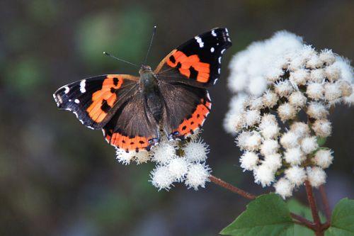 admiral edelfalter butterfly