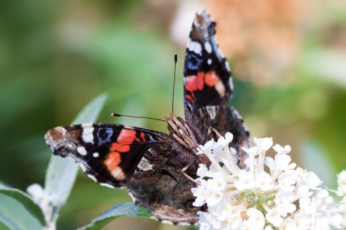 admiral vanessa atalanta butterfly