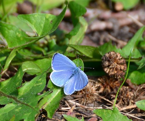 adonis blue butterflies butterfly
