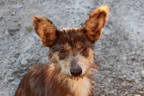 adoption dog pet