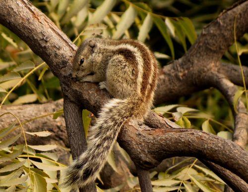 burundukas, maudytis, voverės, graužikai, graužikas, mielas, žavinga, gyvūnas, pliušas, kailis, juostelės, augintiniai, naminis gyvūnėlis, gyvūnai, žavinga voverė medyje
