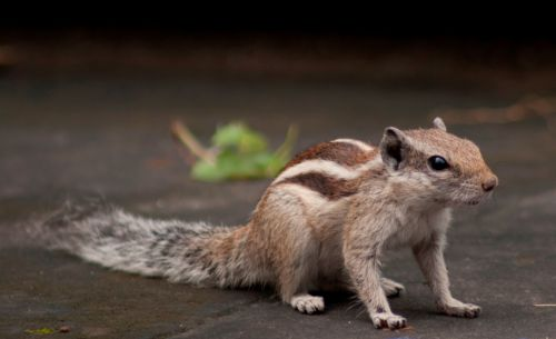 burundukas, voverė, graužikai, graužikas, mielas, žavinga, gyvūnas, pliušas, kailis, juostelės, augintiniai, naminis gyvūnėlis, gyvūnai, žavinga voverė