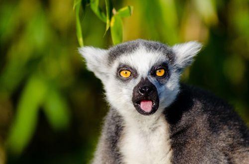 Adorable Lemur Of Madagascar