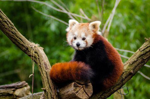 panda, raudona, mažas, žavinga, mielas, įdomu, ailurus, fulgens, gyvūnas, gaisrinė lapė, turėti, laukinė gamta, medžiai, lapai, filialai, bambukas, žavinga raudona panda!
