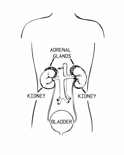 Adrenal Glands Diagram Illustration