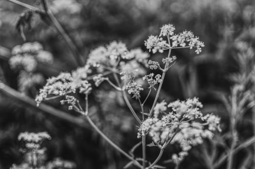 aegopodium podagraria black white plant