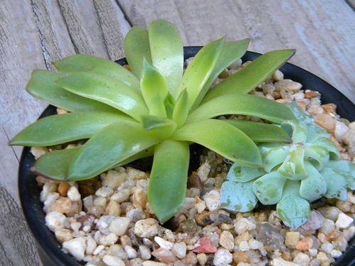 aeonium plant succulents