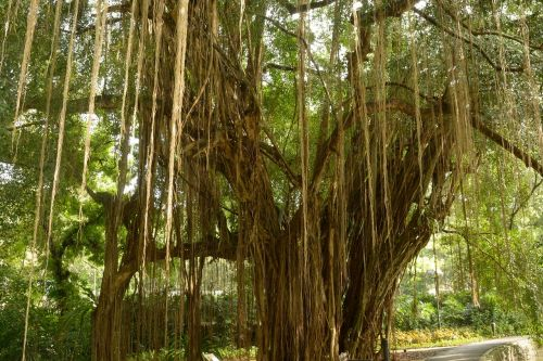 aerial roots giant tree lianas