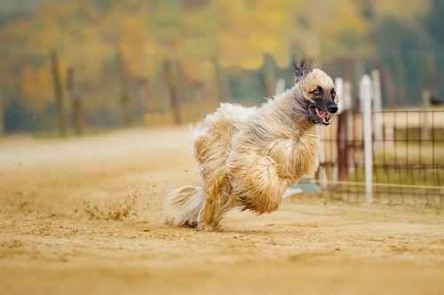 afghan greyhound long coat