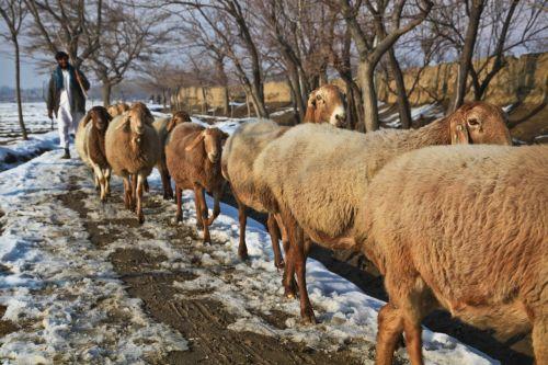 afghanistan shepherd sheep