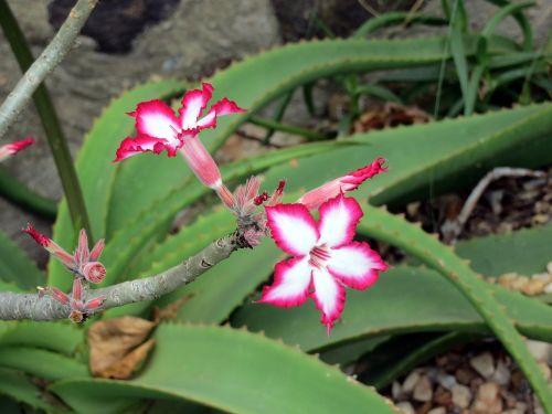 afrika,gėlė,flora,gyvas,gamta,gyvas,spalvinga,augalas,žydėti,sodas,rožinis,spinduliavimo,sultingas,kaktusas,žiedas,subtilus