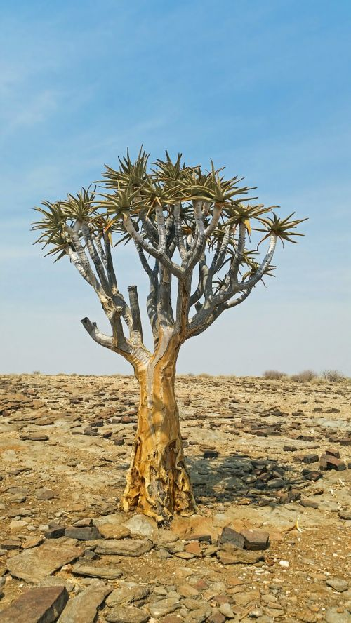 quiver tree africa namibia