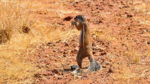 gophers africa namibia
