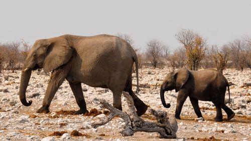 elephant africa namibia