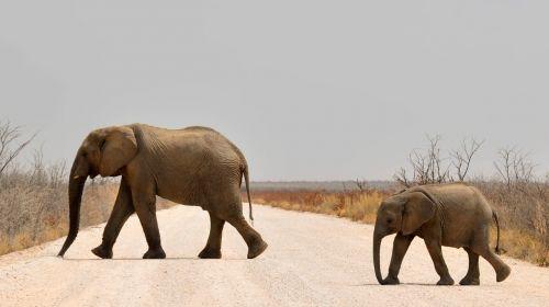elephant baby elephant young elephant