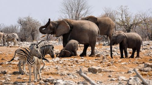 elephant zebra africa