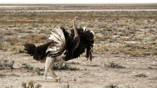 strauss africa namibia