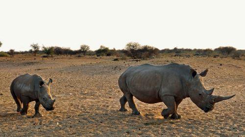 rhino rhino baby africa