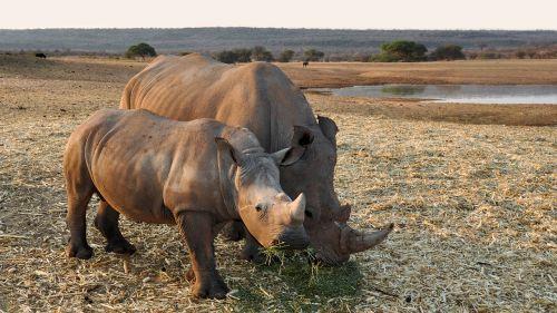 rhino africa namibia