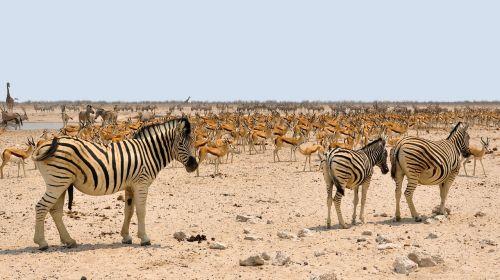 zebra africa springbok