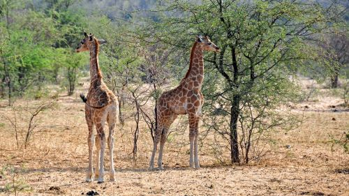 afrika,Namibija,gamta,sausas,Nacionalinis parkas,gyvūnas,laukinis gyvūnas,žirafa,žinduolis,giraffenbaby,jaunas gyvūnas