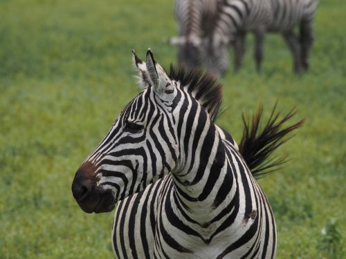 africa zebra black and white