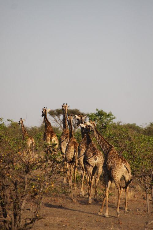 africa giraffes safari