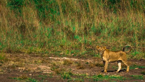 africa lion safari