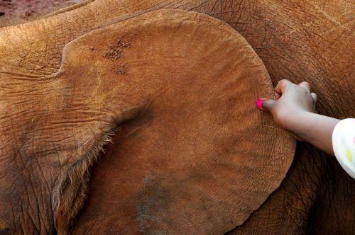 africa elephant ear