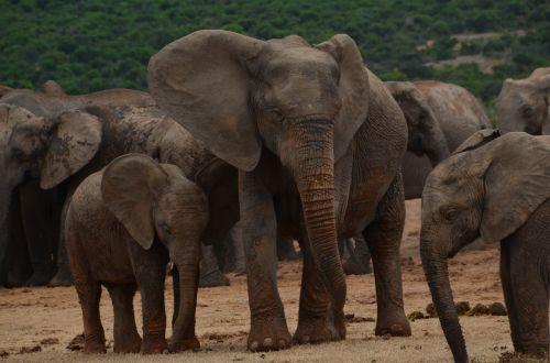 africa safari elephant