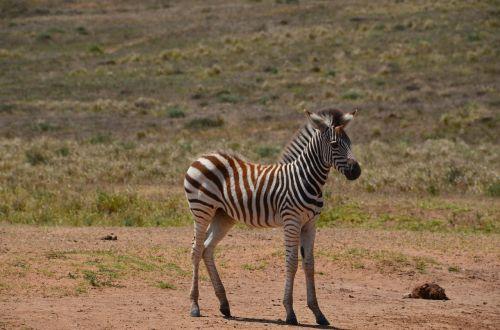 africa safari wild animal