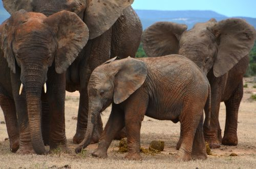 afrika,kūdikio dramblys,african bush dramblys,dramblys šeima,jaunasis dramblys,dykuma,safari,dideli penki,pachyderm,flock