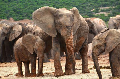 africa elephant family elephant