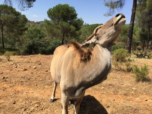 eland antelope la reserva de castillo