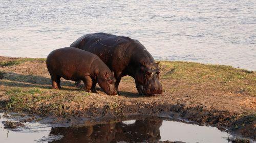 africa hippos safari