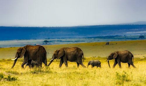 africa safari elephants