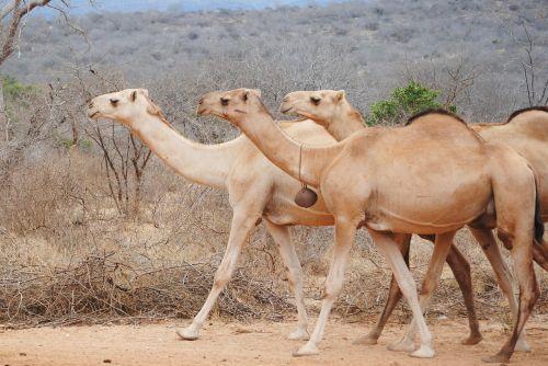 africa kenya camel
