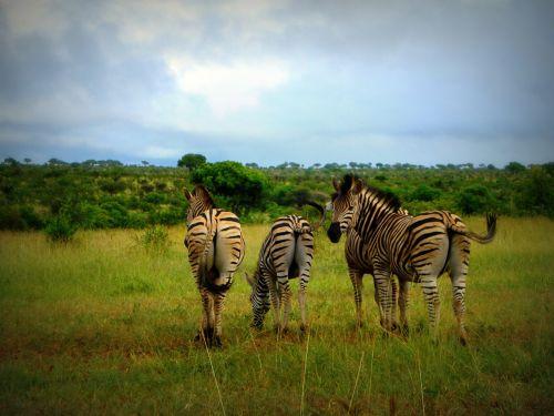 africa south africa zebras